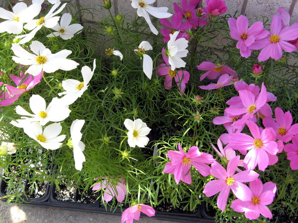 Pin On Garden Flower Grow How To S