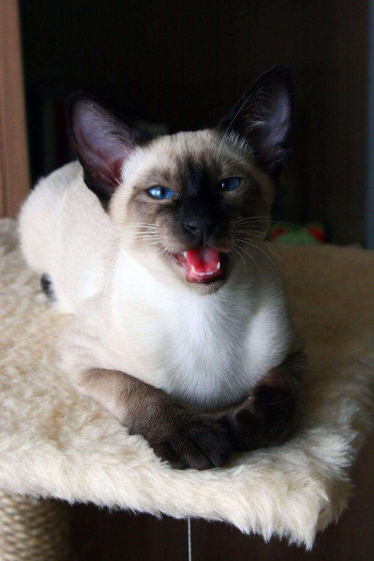 Affectionate Siamese Cat Siamese Cats Pretty Cats Siamese