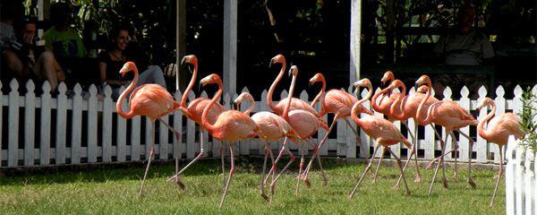 d113710ede251dd8aa4c144e565ddb4c - Nassau Bahamas Ardastra Gardens And Zoo