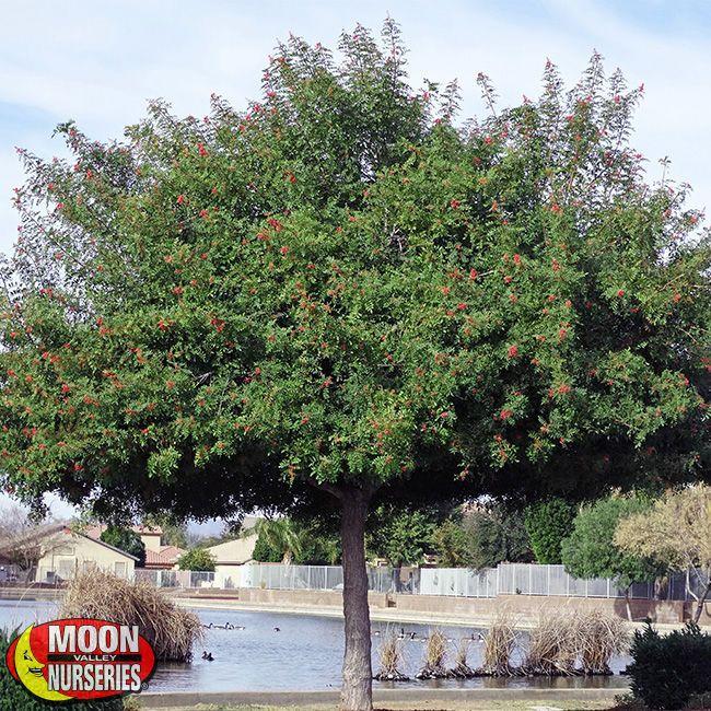 Brazilian Pepper Schinus Terebinthifolius Trees For Front Yard Pepper Tree Street Trees