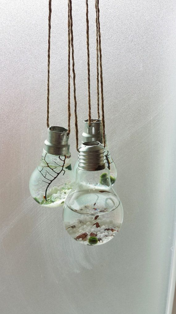 Three Marimo Moss Ball Light Bulb Hanging by DingaDingTerrariums