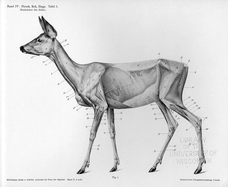 deer skull side - Google Search   Anatomy   Pinterest   Deer skulls ...