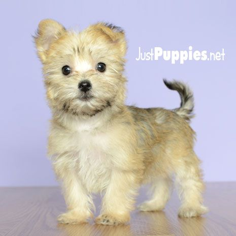 Puppies For Sale Orlando Fl Justpuppies Net Or Any Female Morkie Puppies Morkie Puppies Puppies For Sale