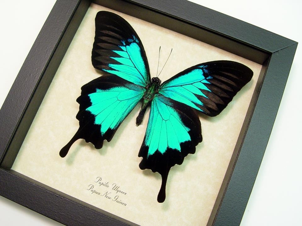 papilio ulysses real framed butterfly display 204 s