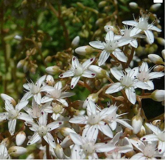 Sedum album stonecrop cuttings white star flowers ground cover 10 items similar to sedum album stonecrop cuttings white star flowers ground cover 10 on etsy mightylinksfo