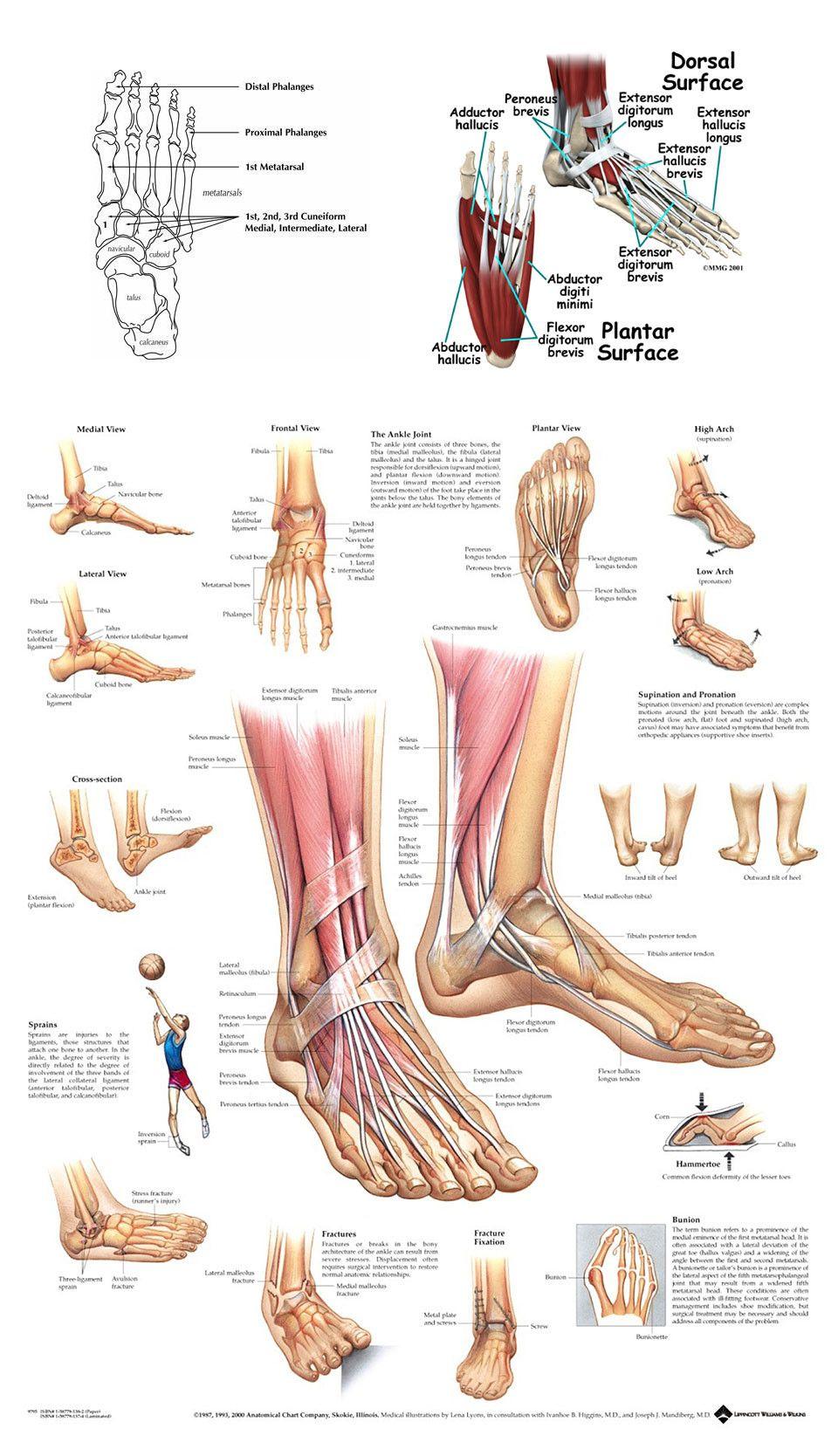 Ankle Bones Diagram Human Body Anatomy Pinterest Anatomy