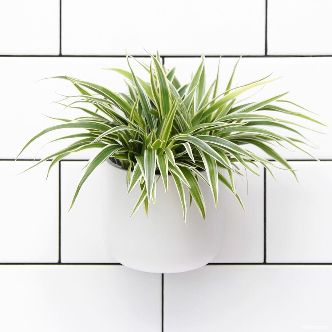 Spider Plant In The Eden Suction Planter. Cleans The Air Of Formaldehyde  From Common Cleaning