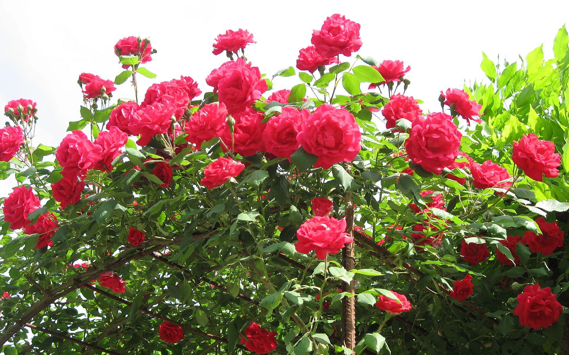 Beautiful Rose Garden Wallpaper flowers wallpapers pink rose flower countless wallpapers | 3d