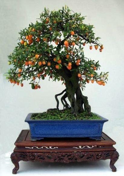 A Chinese bonsai