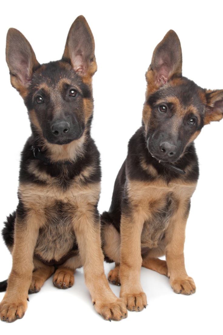 Two German Shepherd Puppies In Front Of A White Background Germanshepherd German Shepherd Puppies German Shepherd Pictures Shepherd Puppies
