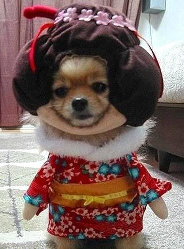 Geisha Dog Costume The Dog Is Thinking Where Can I Find