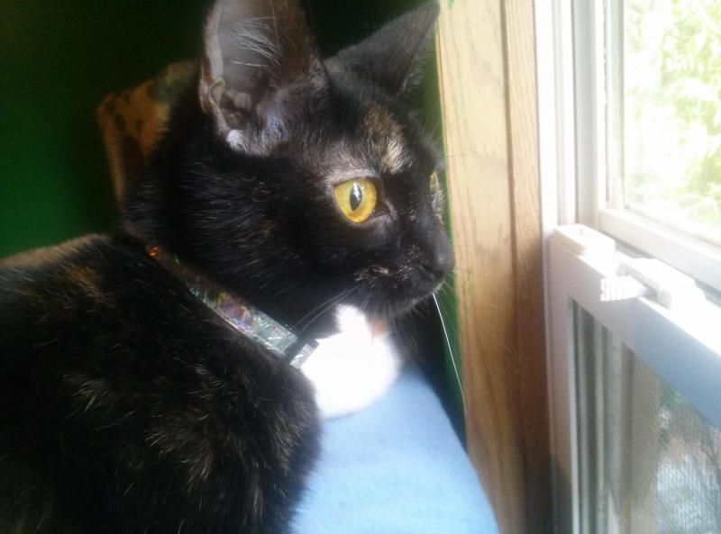 Meet Charra, a Petfinder adoptable Tortoiseshell Cat   Muncie, IN   Charra is not your typical moody, opinionated torti.  Her hobbies include surfing the internet...