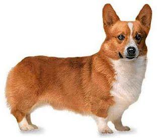 German Wirehaired Pointer Corgi Corgi Breeds Dog Breeds