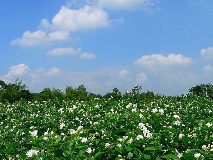 Image result for jasmine flower fields