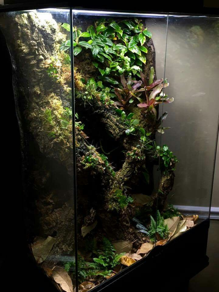 Myianicolee enclosures pinterest vivarium - Begonia argentata ...