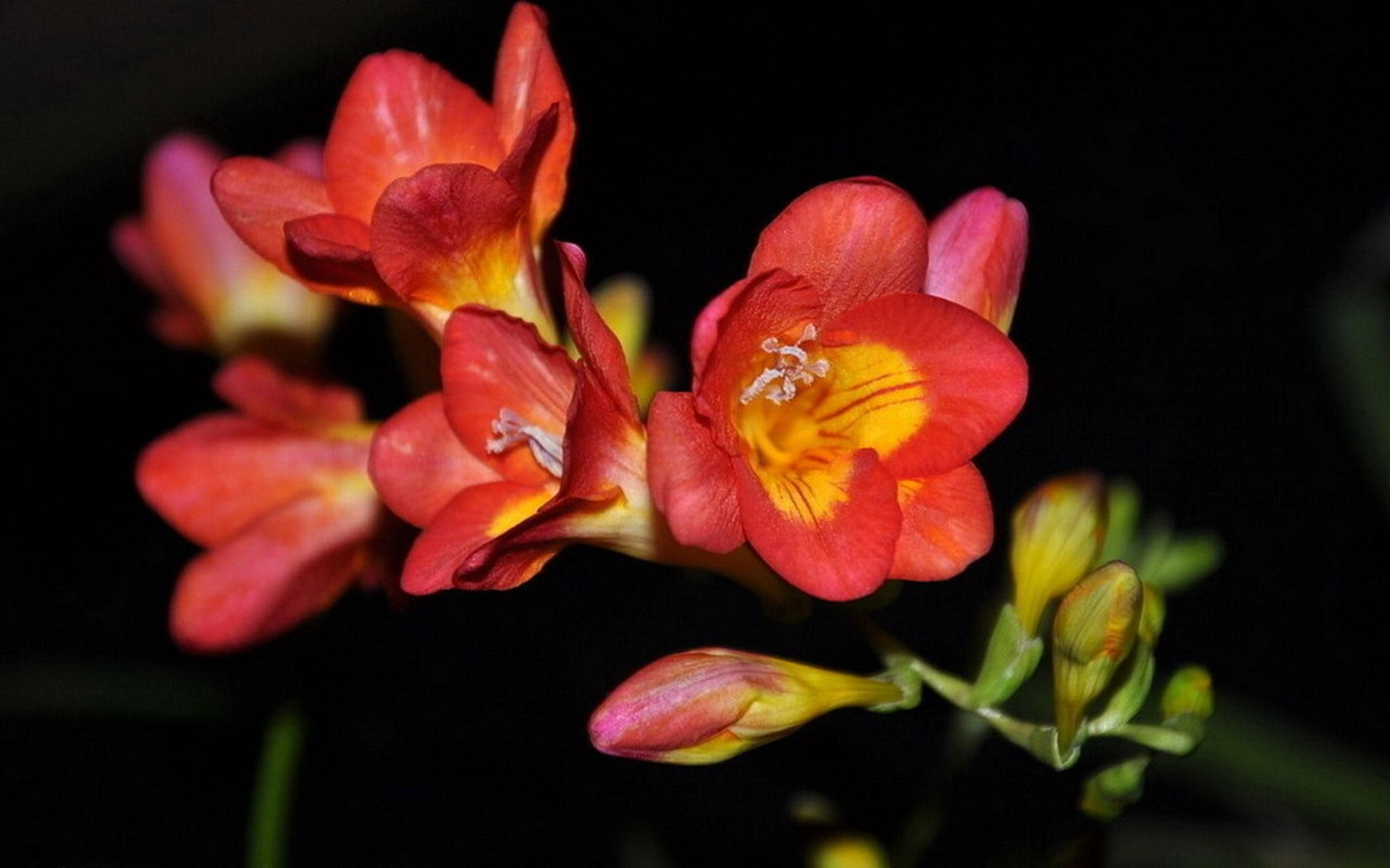 Top Beautiful Freesia Flowers Download Hd Pictures Pin Hd Wallpapers Perennial Flowering Plants Freesia Flowers Herbaceous Perennials