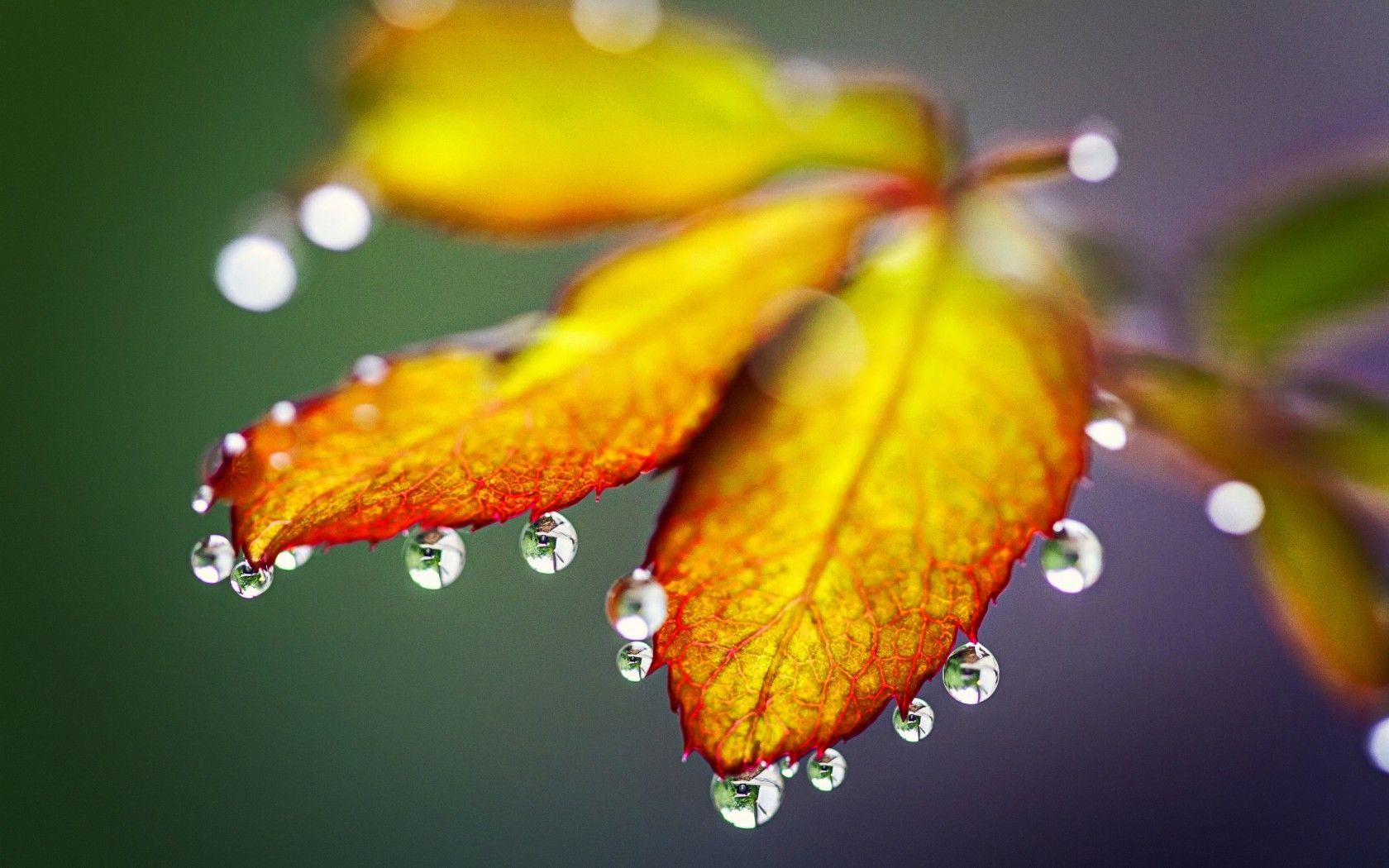 Macro Drops Rain Morning Autumn Leaves Nature Hd Leaf Nature Leaves Water Drop On Leaf