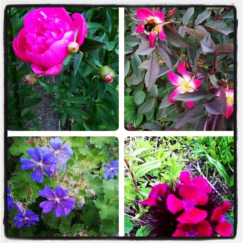 Pioni, punalehtiruusu, kurjenpolvi ja ... #omapiha