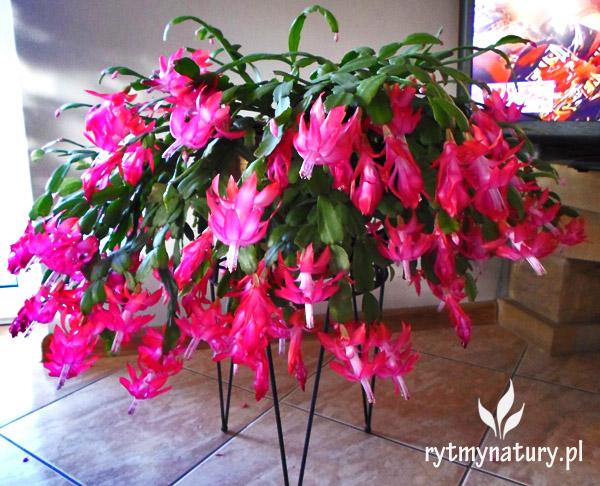 Grudnik Jak Uprawiac Aby Zakwitl Na Swieta Flower Decorations House Plants Flowers