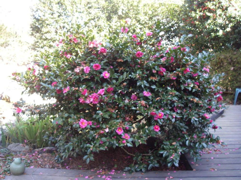 Camellia Sasanqua Shishi Gashira Is One Of My Favorite Camellias Because It Blooms In December January And Sometimes Front Yard Plants Shade Garden Garden Images