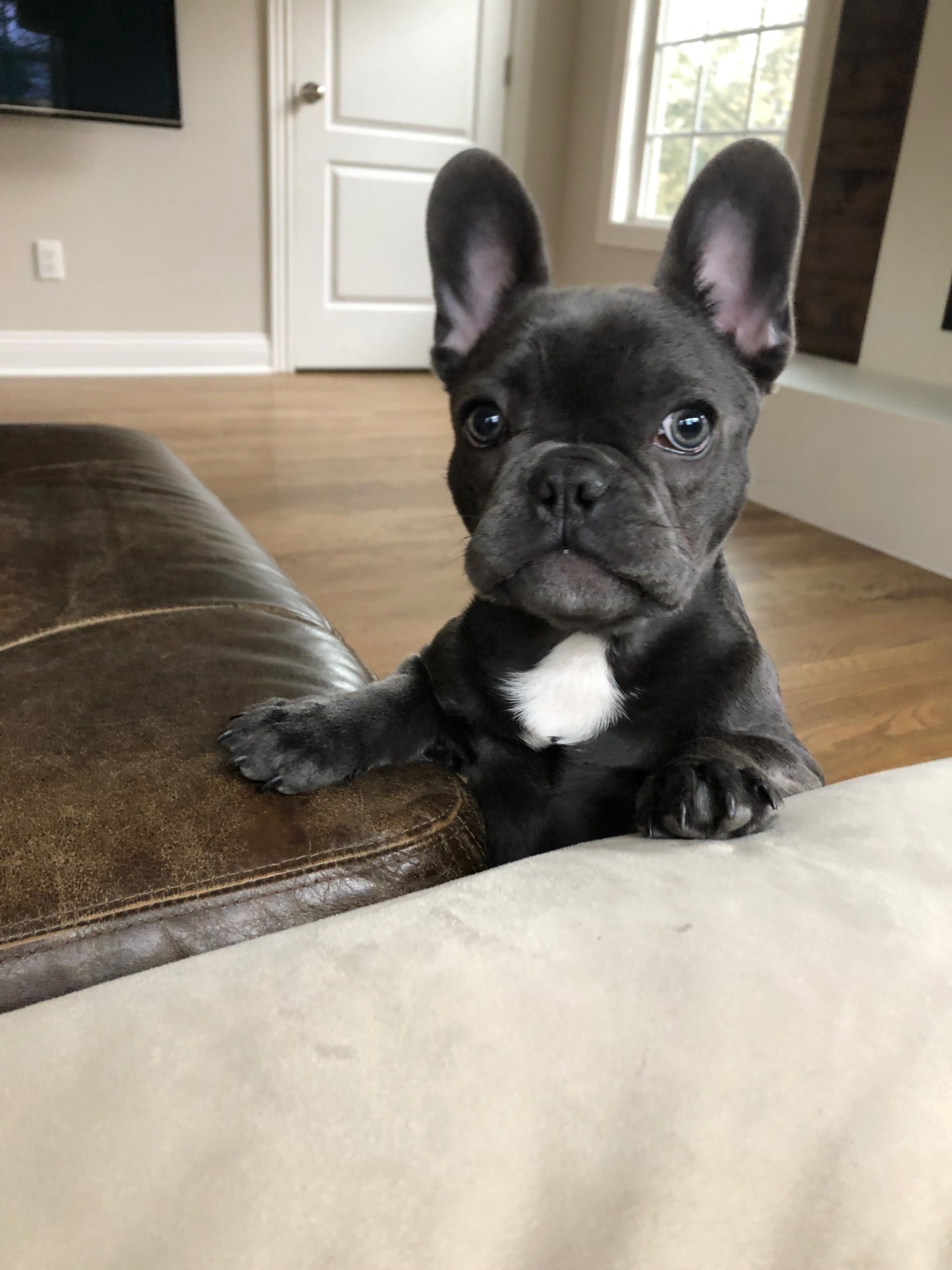 Pin By Wendy Thomas On I Frenchies French Bulldog Puppies