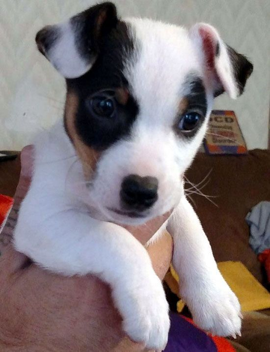 Jack Russell Terrier Jrtca Choice Photo Gallery Chihuahua Welpen