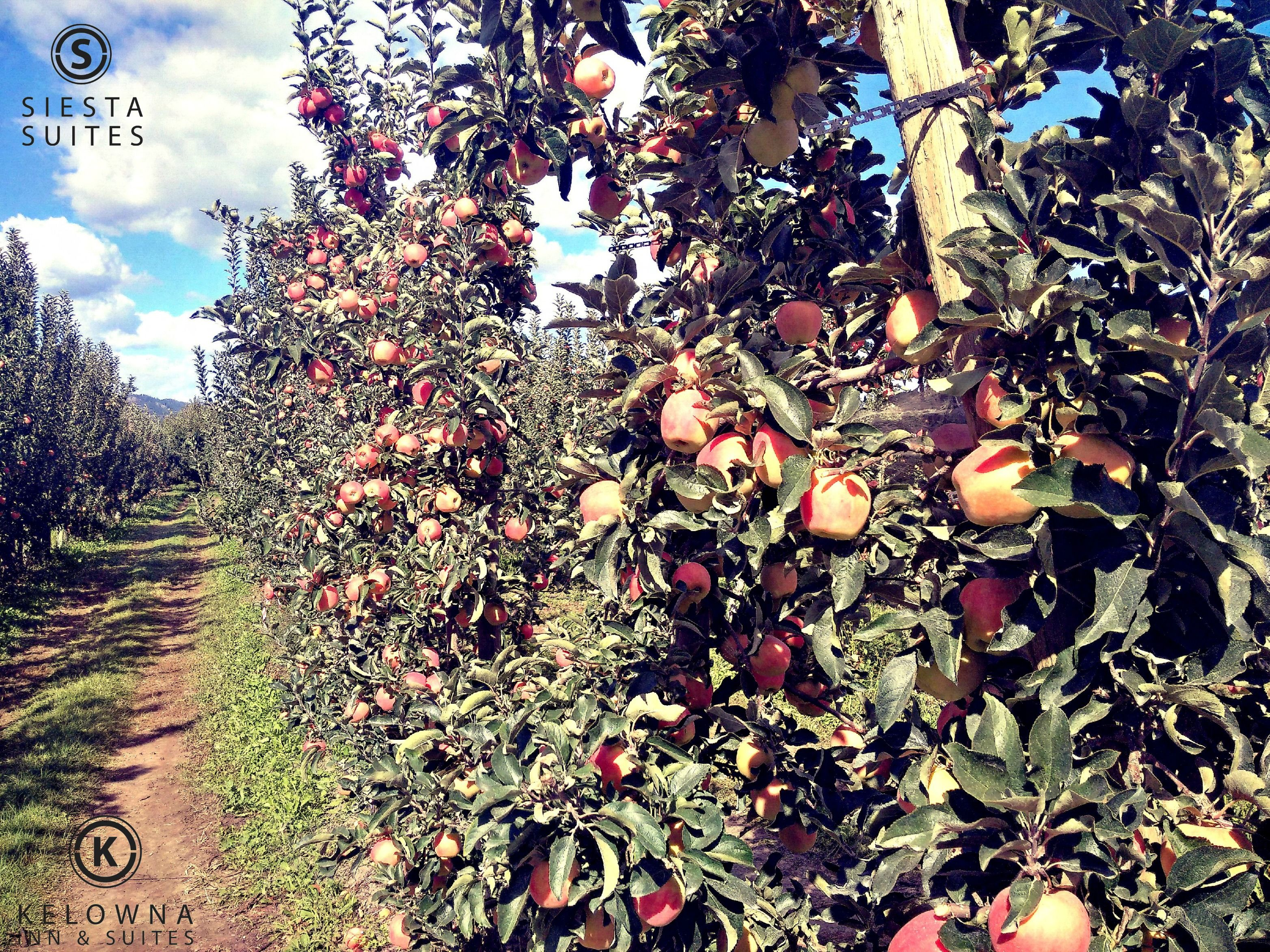 Our Okanagan apples are all grown up and ready to see the