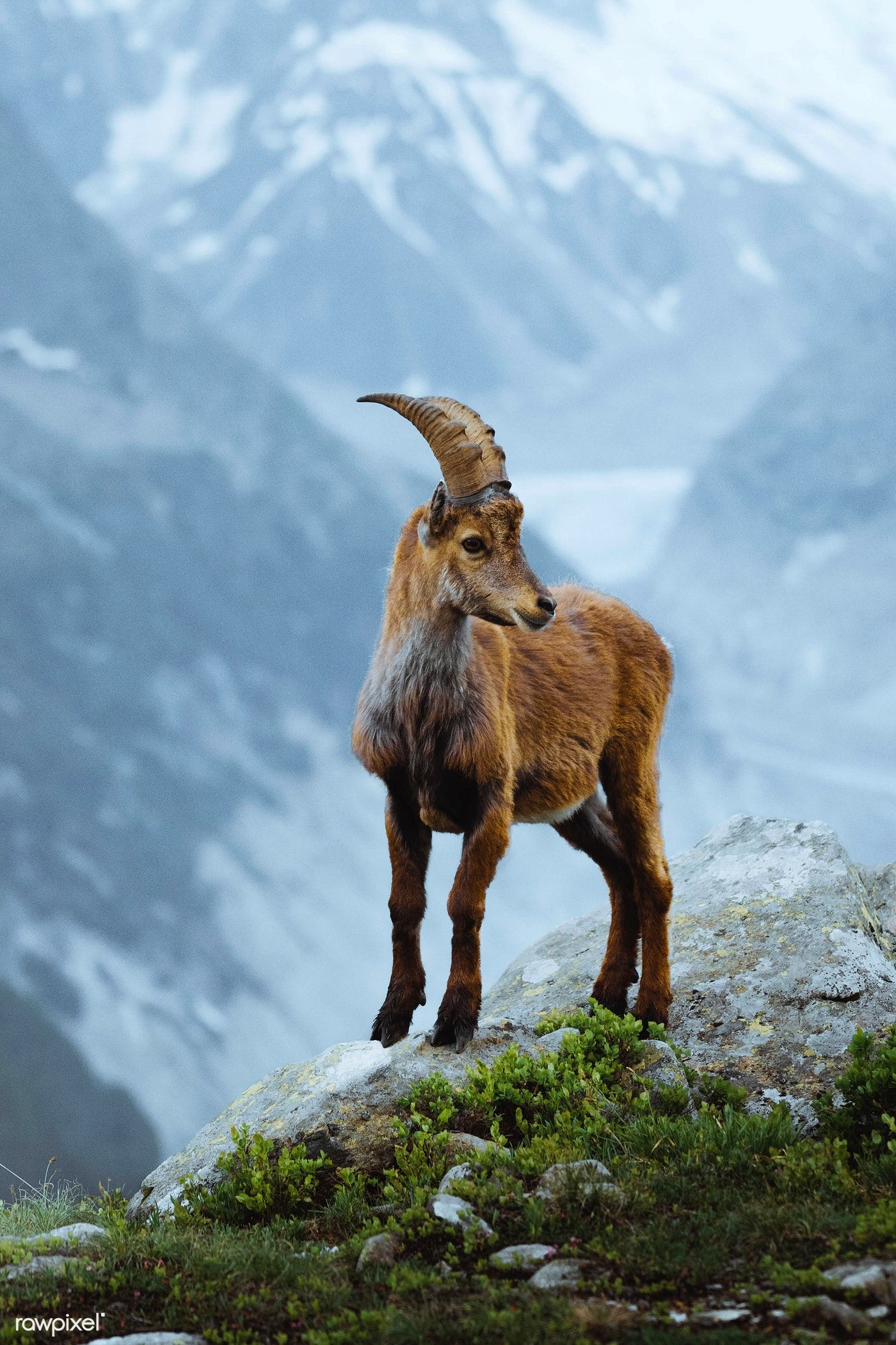 Alpine ibex in the French Alps   free image by rawpixel.com / Jack Anstey