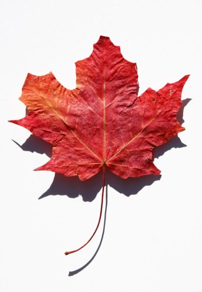 Solitaire Solidaire Aced Fox The Nightowl Canadian Maple Leaf Maple Leaf Pictures Canadian Maple Leaf Maple Leaf