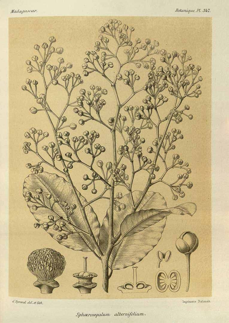 63444 Rhopalocarpus alternifolius (Baker) Capuron [as Sphaerosepalum alternifolius Baker]  / Grandidier, A., Histoire physique, naturelle et politique de Madagascar, Atlas, vol. 3: t. 347 (1890) [A.R. d'Apreval]