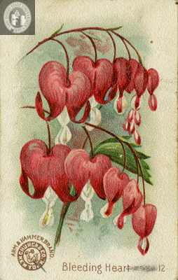 Bleeding Heart Bleeding Heart Flower Illustration Orchid Illustration