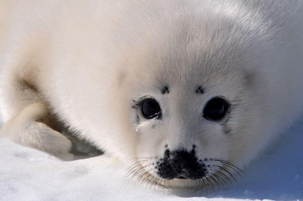 llbwwb:   A Seal's Tear (by Zircon_215)
