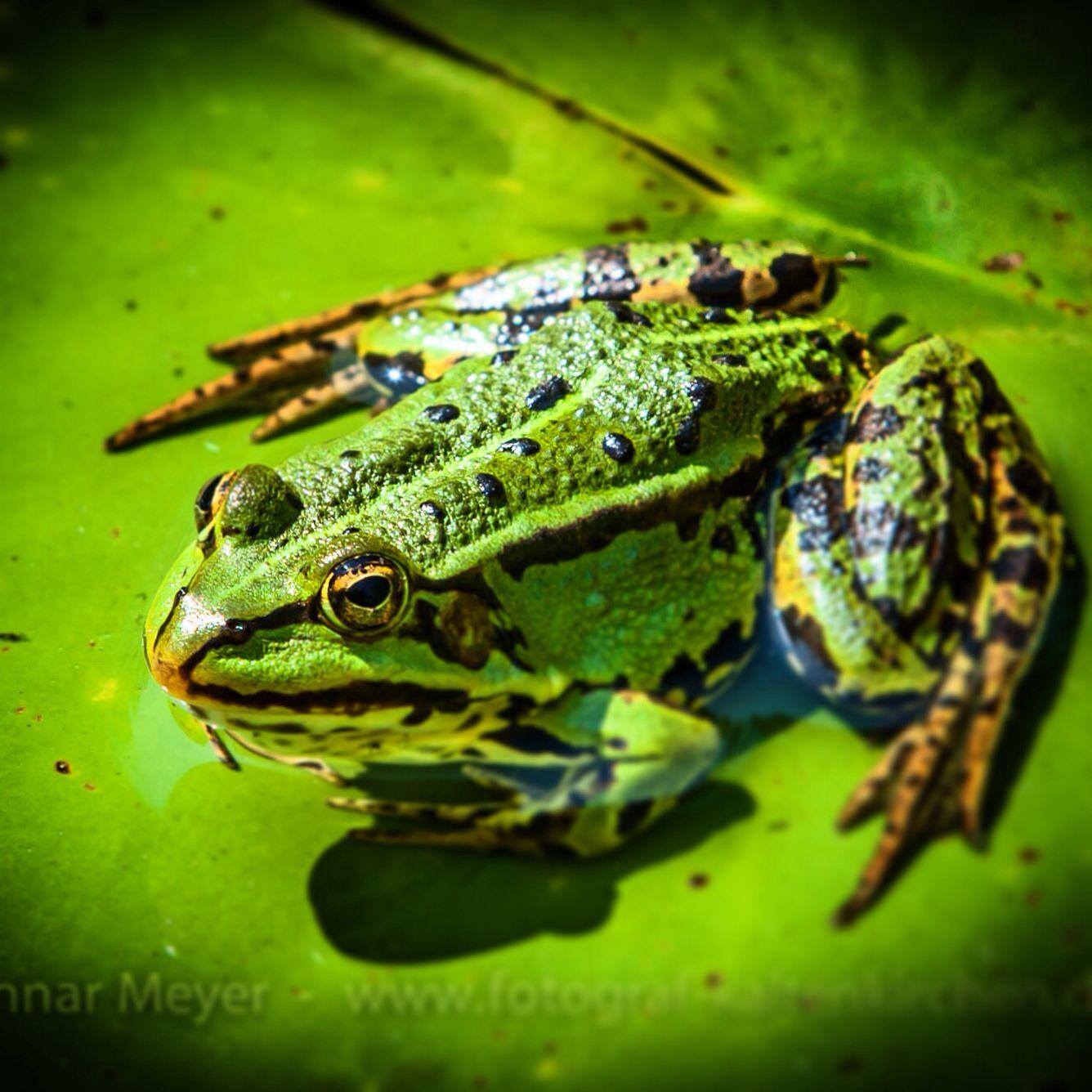 Frosch ohne Locken