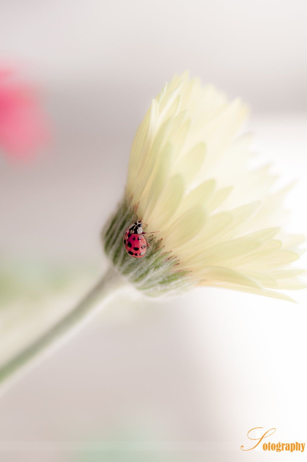 Lady on the Flower by Senthil Seran [ladybug]
