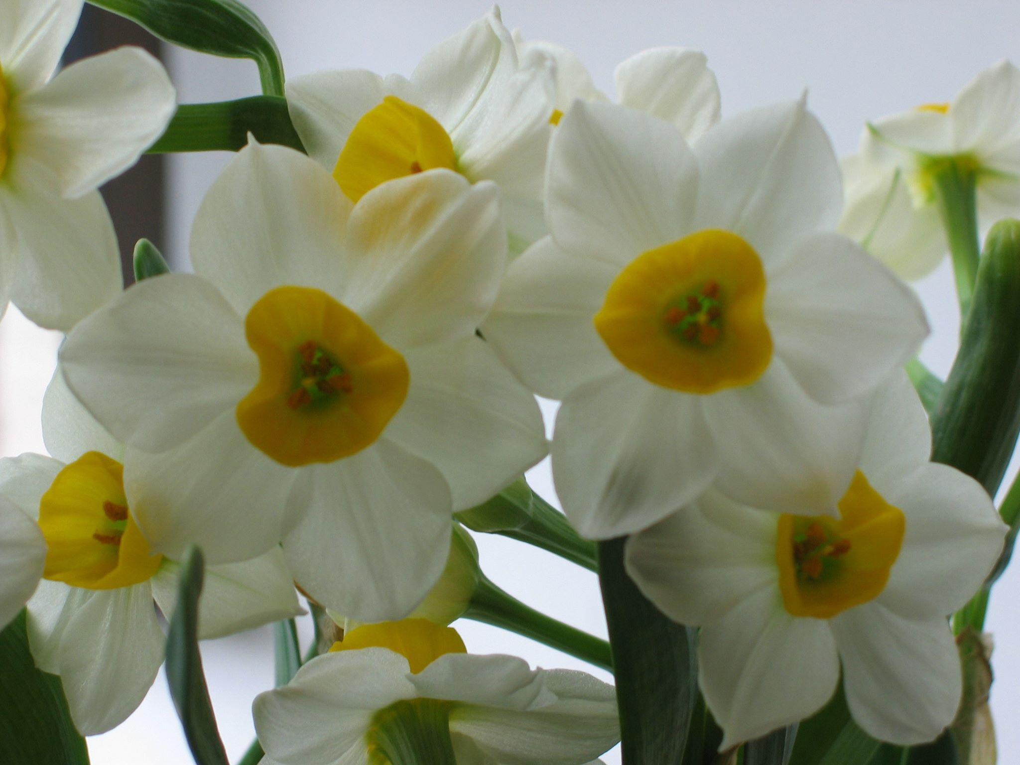 Pin by Flowers on Flower History Narcissus