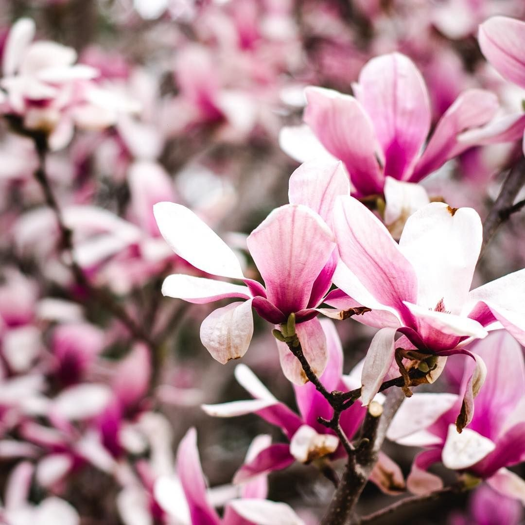 The Significance Of The Cherry Blossom Tree In Japanese Culture Goes Back Hundreds Of Years In Their Country The Cherry Cherry Blossom Tree Brave Kids Bloom