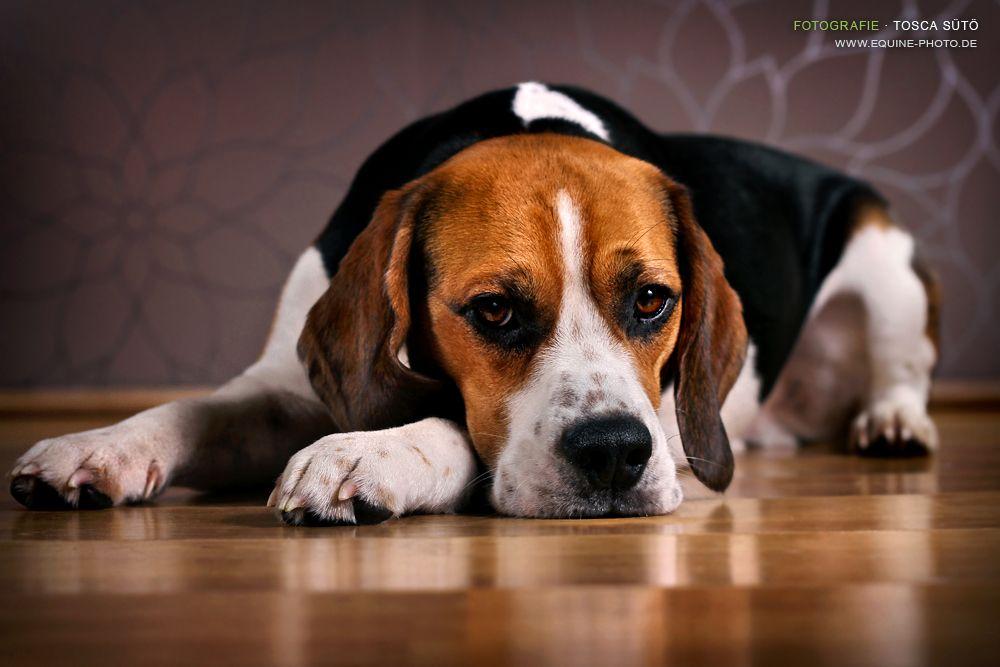 My Beagle Sir Eddy By Vadalein On Deviantart Goruntuler Ile