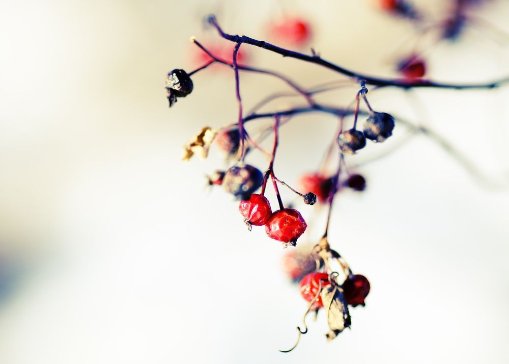 Winter's Berries Photo by Todd Klassy -- National Geographic Your Shot