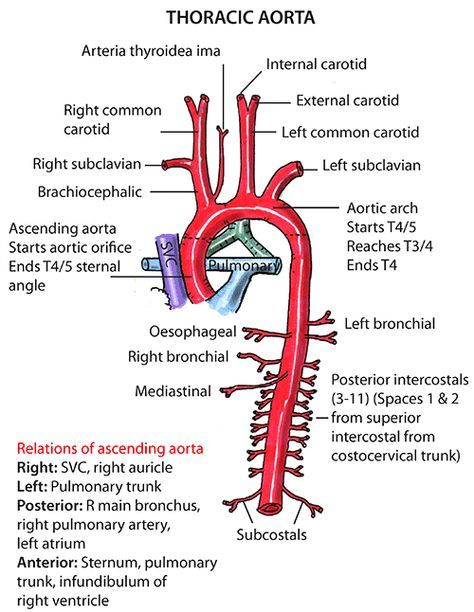 Instant Anatomy - Thorax - Vessels - Arteries - Ascending aorta ...