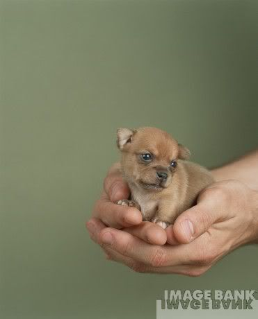 Baby Chihuahua Photo This Photo Was Uploaded By Riddlezthelette