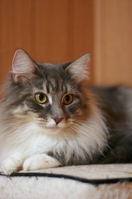36枚 温和で頭も良いメインクーンの猫画像まとめpart3 メインクーン 猫 画像 猫