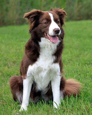 Chocolate And White Border Collie Looks Like A Younger Version Of