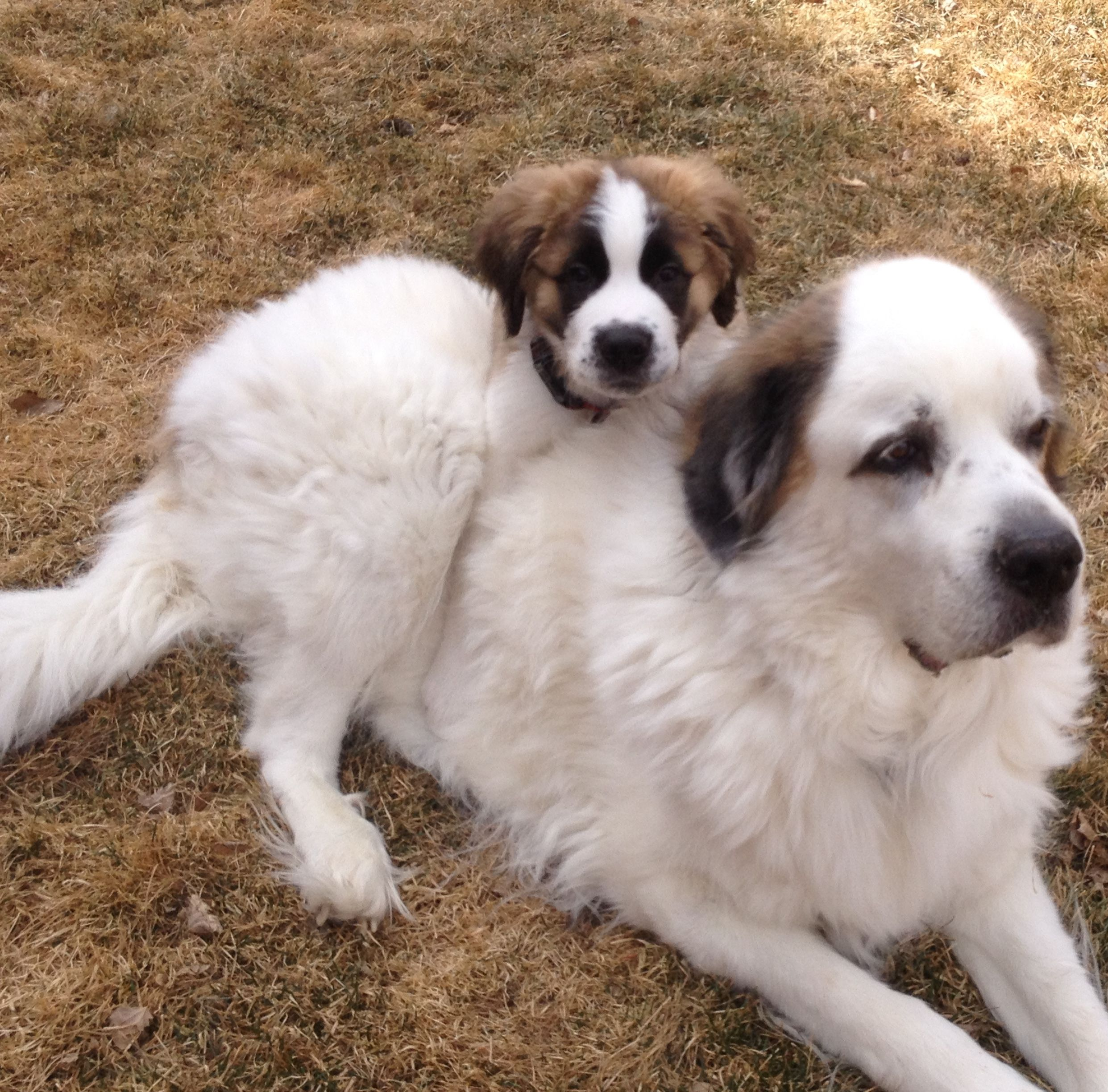 Saint Bernard Great Pyrenees Mix For