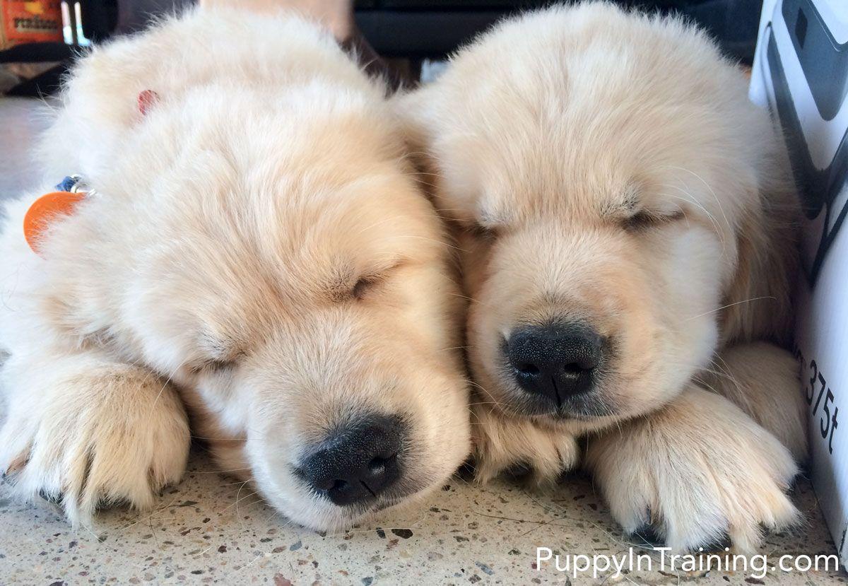 Our Litter Of Golden Retriever Pups Week 8 Dogs Golden