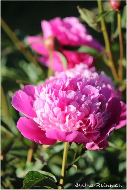 Hallatar:  Joskus pionin kukkimista saa odottaa vuosia.  Eikä pioni pidä siitä että sen juuriin kosketaan.  Siksi se loukkaantuu istuttamisesta ja  varsinkin siirtämisestäkin niin että  nikottelee vuosia.