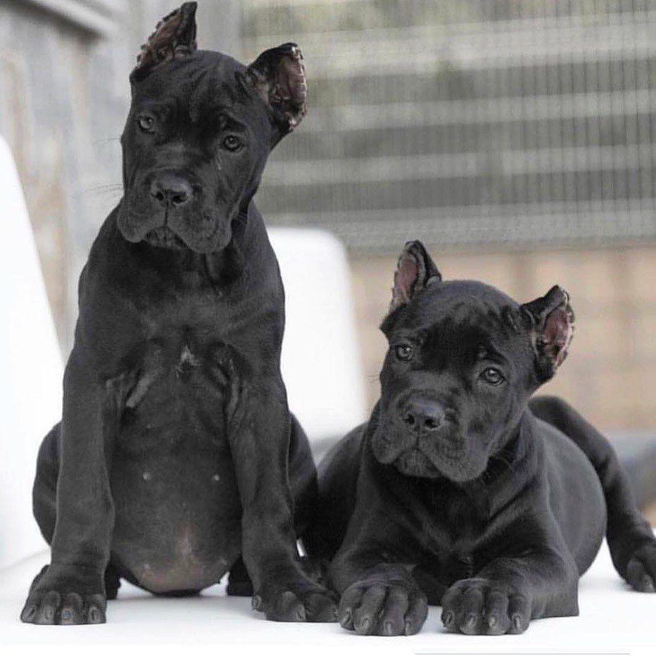 My Tops X Man Barcelona The Best Breed Cane Corso Canecorsojuanmamorato Y O U T U B E Cane Corso Dogs For Sale Uk Corso Dog
