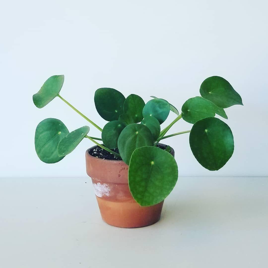 Scandinavian Decorideas: Pilea Peperomioides Terracotta Pots Houseplants Indoor