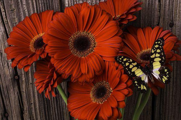 Red Gerbera Daisies With Butterfly Gerbera Daisy Gerbera