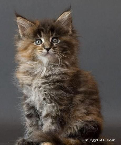 Pin On Maine Coons Cousins