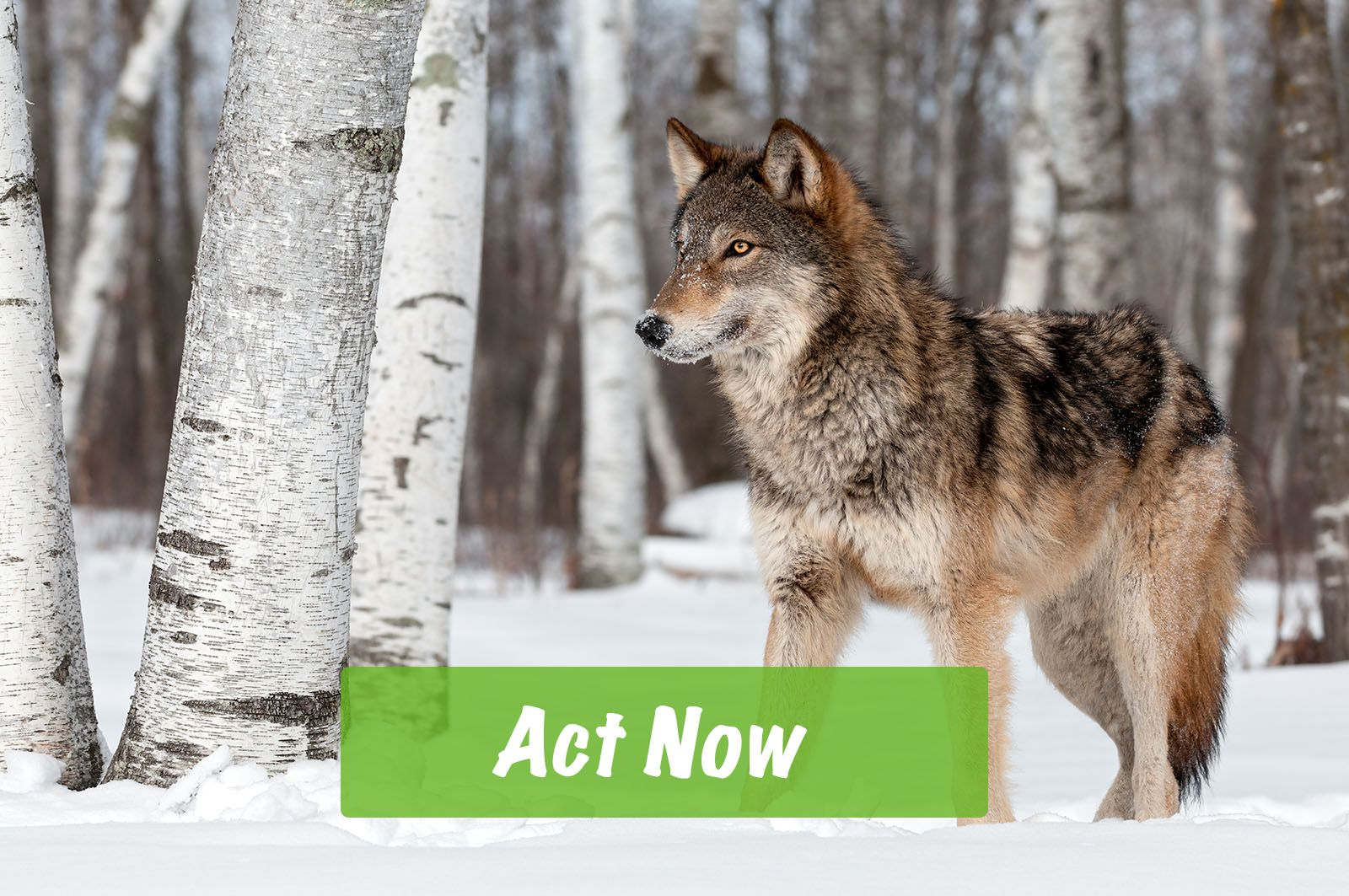 Environmental Action Tell Congress Gray wolves are